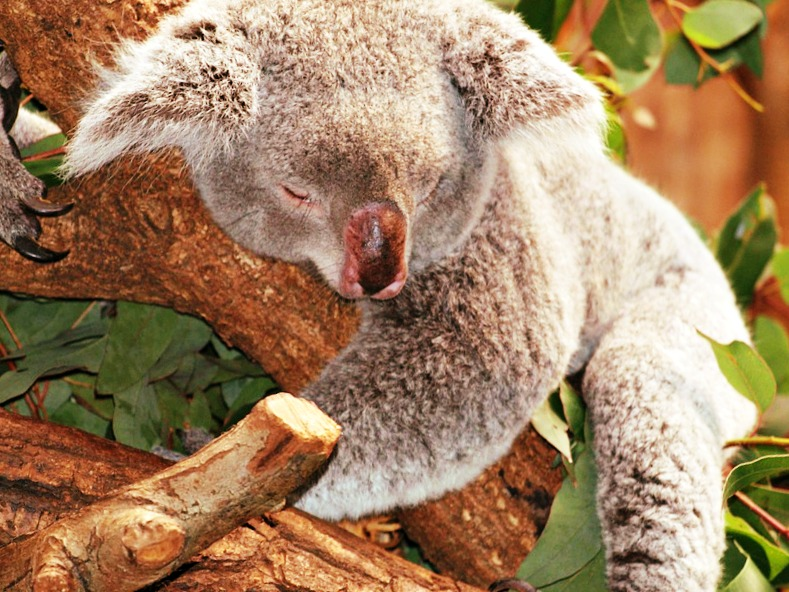 koala sommeil